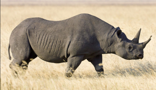 extinct-species-animals-black-rhino