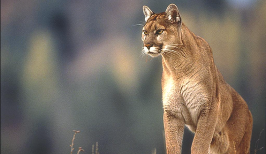 extinct-species-animals-eastern-cougar
