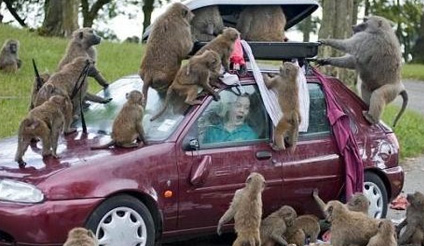 baboons-car