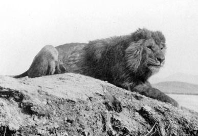 barbary-lion