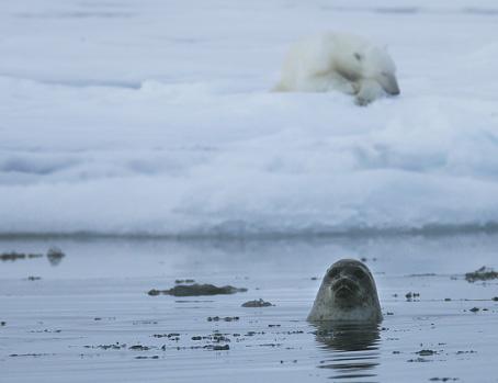 bear-seal