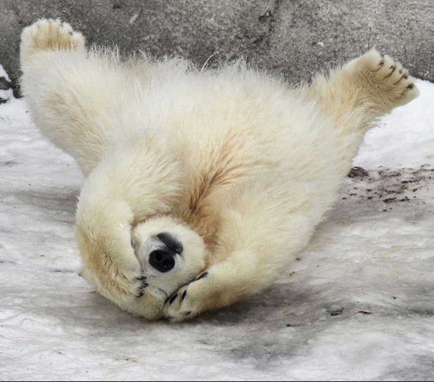 polar-bear-rollover